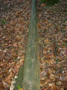 Badger tracks on a fallen tree
