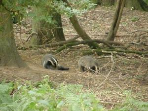 Badgers a long way off, by the eastern sett entrance