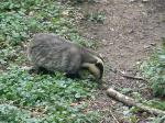 nick-the-badger