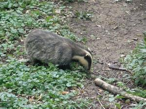 Nick the badger - note the notch in the black stripe under the ear