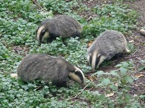 Three cubs foraging