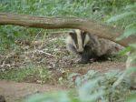 badger-cub