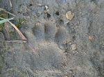 badger-print-2