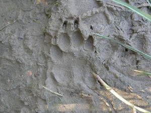 Badger track - but count the toes!