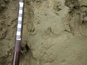 Possible stoat track
