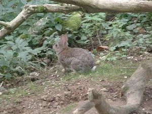 One of the local rabbits