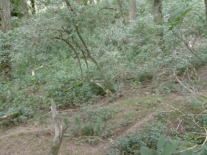 The central sett area - note the badger paths and undergrowth