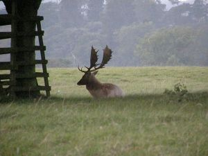 Fallow stag at Woburn