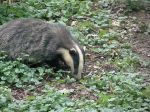nick-the-badger-2