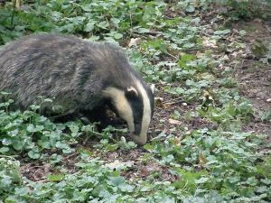 A badger in summer