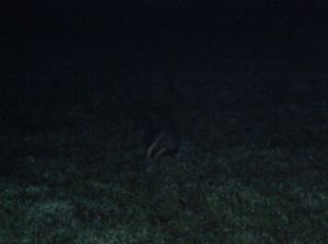 Night-time badger