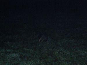 Night-time badger