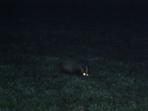 Night-time badger 2
