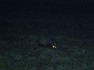 Night-time badger 2