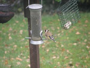 Goldfinch feeding on niger seed