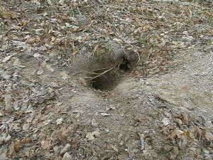 Badger sett entrance (2)