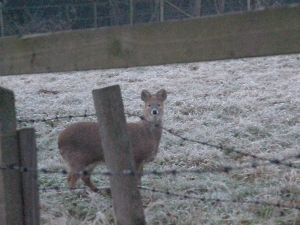 Chinese Water Deer in a frosty paddock