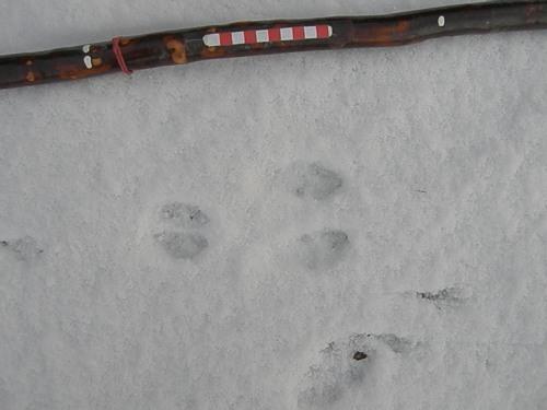 Rabbit track in snow