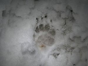 Track of badger's forepaw - note the claws