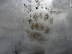 Badger tracks showing registration