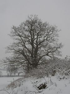 Winter Oak