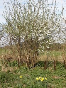 Blackthorn in flower