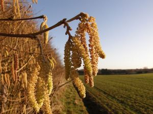 Catkins - spring is coming!