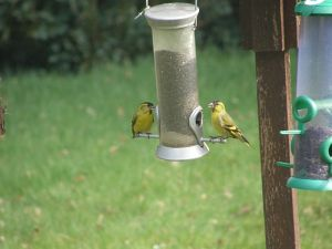 Siskins on the niger seed feeder