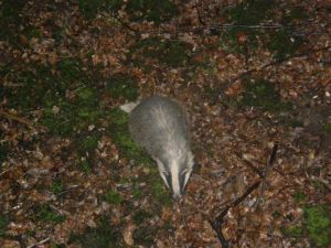 Badger under my tree