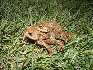 Common toads mating by the pond