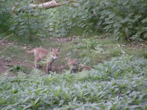 The fox cubs (damn that autofocus!)