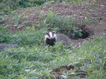 Suspicious badger