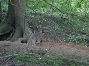 Badger at the Pine Tree sett
