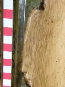 Bark damage close up