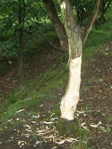 Sycamore with gnawed bark