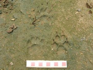 Badger and fox tracks