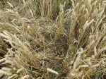 Badger damage inwheat