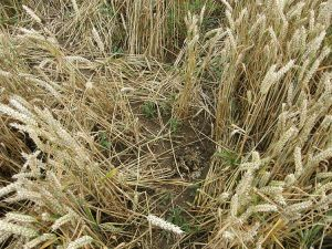 Badger feeding signs in wheat