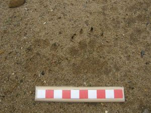 Badger tracks 1