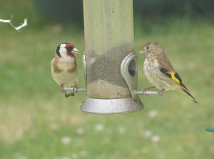 Goldfinches - adult on the left, juvenile on the right