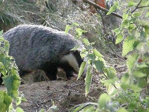 Badger 6