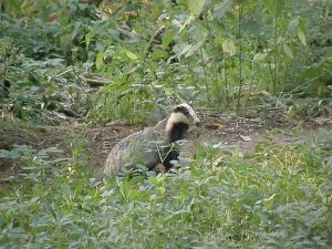 Badger at the middle sett entrance