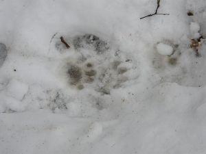 Badger Tracks in Snow