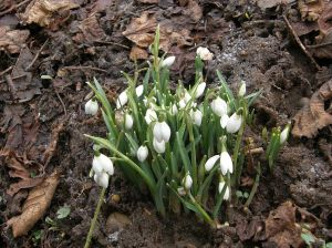 First snowdrops of spring
