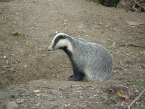 Badger - one of the mammals that practices delayed implantation