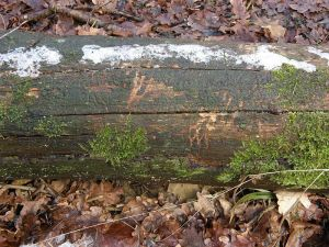 Badger Claw Marks on a Fallen Tree