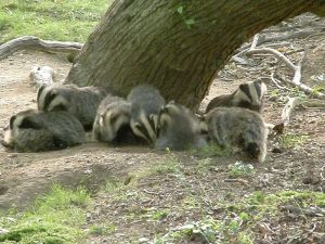 Badgers in a social group- but why?