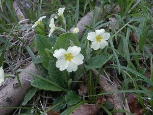 Primroses in the wood
