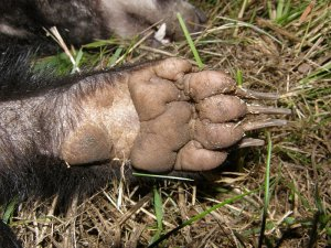 Badger fore paw