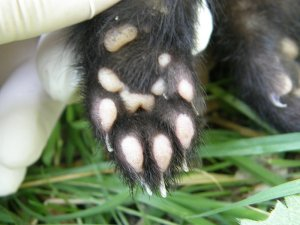 Polecat fore (front) paw
